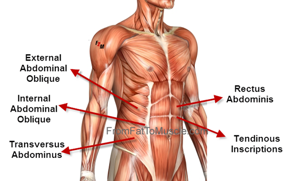 Abdominal External Oblique Muscle Group Graphic